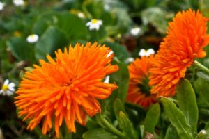 domowy kosmetyk z własnych kwiatów