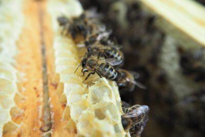 Wosk pszczeli – pozyskiwanie i zastosowanie w kosmetyce